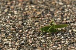 Dansk græshoppe, 2016