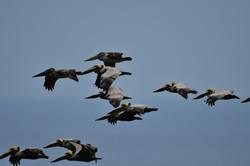 Pelicans en route....