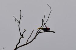 Toucan mating dance (at 1km)