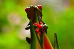 Tree frog Costa Rica 2015