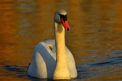 Swan Denmark 2014