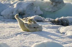 Polar bear pilates, Svalbard 2015