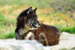 Greenlandic husky