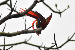 Scarlet macaw tidying its tail 2015
