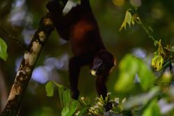 Spider monkey Costa Rica 2015