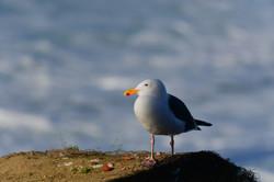 Sea bird, La Jolla 2017