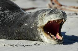 Falklands, Sea Leopard