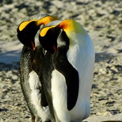 South Georgia, King Penguins