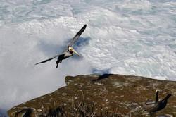 Pelican La Jolla (Ælling's photo)