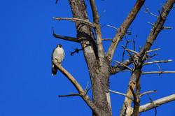 Peregrine Falcon, Point Lobos 2017
