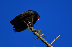 Vulture, Big Sur 2017