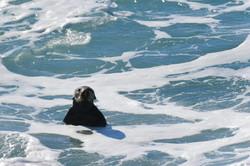 Sea otter, Point Lobos 2017