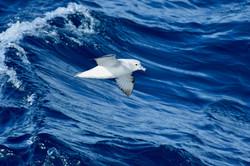 South Atlantic Prion