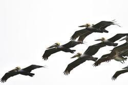 Pelicans Costa Rica 2015