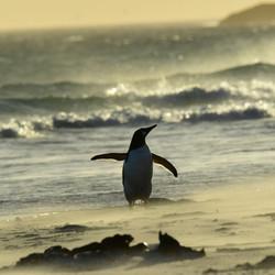 Falklands Gentoo Penguin