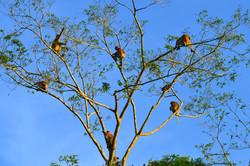 Borneo (Sabah)