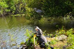 Alligator Florida Everglades