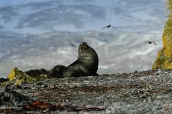 South Georgia, bull fur seal