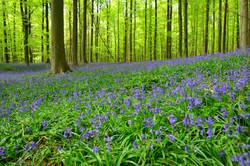 Bluebells Belgium