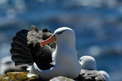 Falklands Blackbrowed Albatross