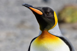 South Georgia, King Penguin
