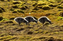 Barnacle geese, Svalbard 2015
