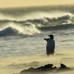 Falklands, Gentoo aerobics at dawn