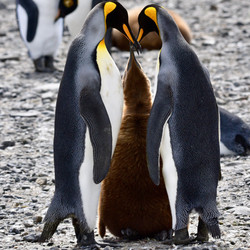 South Georgia King Penguin family