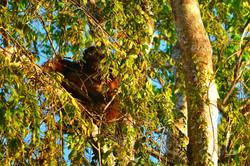 Orangutan sunset Borneo (Sabah)