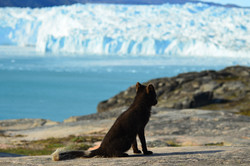 Arctic Fox Greenland