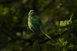 Parakeet in the garden 2016