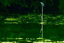 Kingfisher + fish Belgium