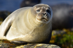 Seal, Svalbard 2015