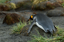 South Georgia exhausted King Penguin