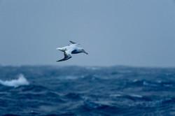 South Atlantic Wandering Albatross