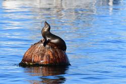 Sea lion, Monterey 2017