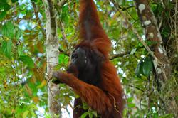 Oragutan Borneo (Sabah)