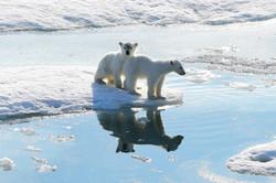 Little bears, Svalbard 2015
