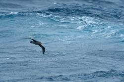 South Atlantic Petrel drawing a line