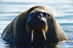 Friendly walrus, Svalbard 2015