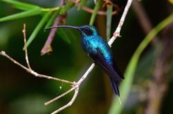 Humming bird Costa Rica 2015
