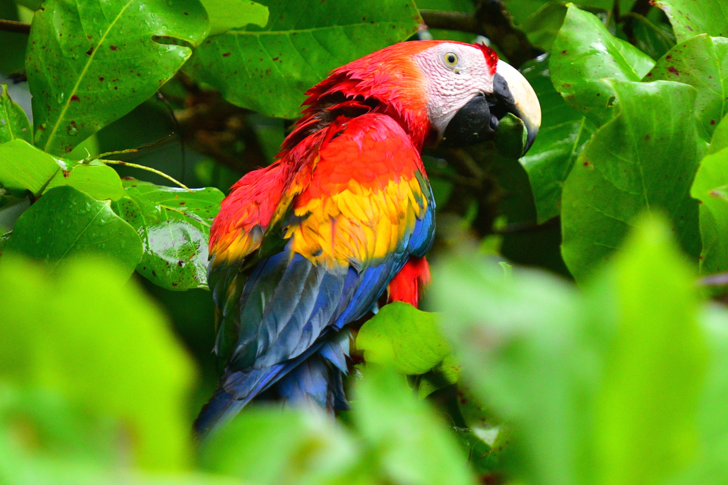 Scarlet Macaw Costa Rica 2015
