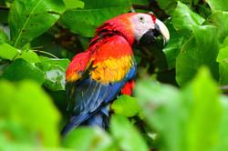 Scarlet Macaw Costa Rica 2015