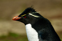 Falklands, Rickhopper Penguin