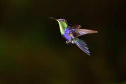 Humming bird Costa Rica 2015