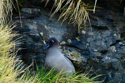South Georgia Sooty Albatross