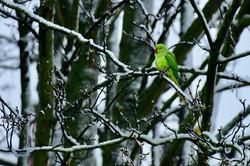Parakeet in the snow Belgium 2017