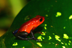 Blue jeans tree frog 2015