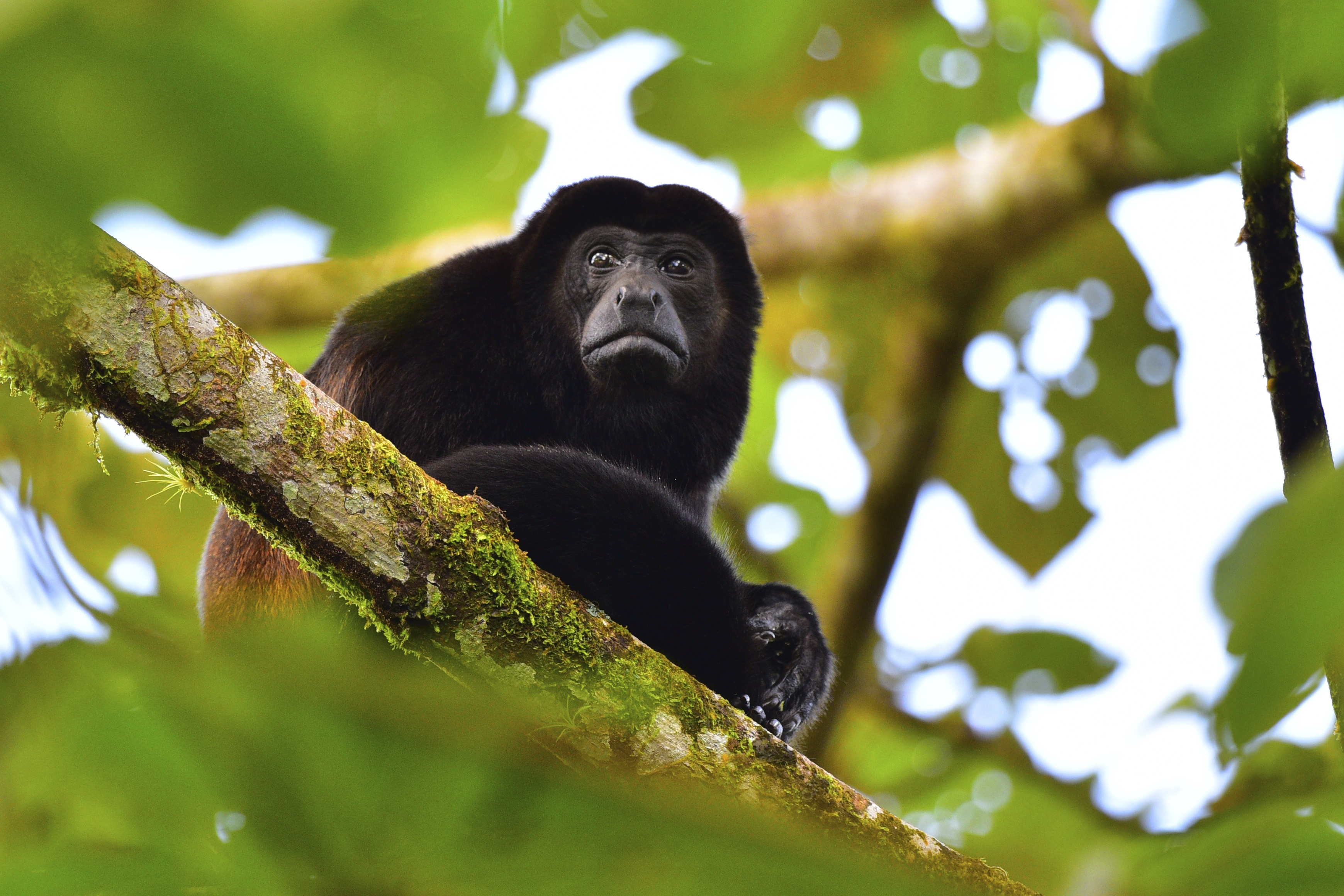 Howler monkey contemplating 2015