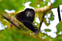 Howler monkey contemplating 2015